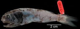 Image of Pricklefish