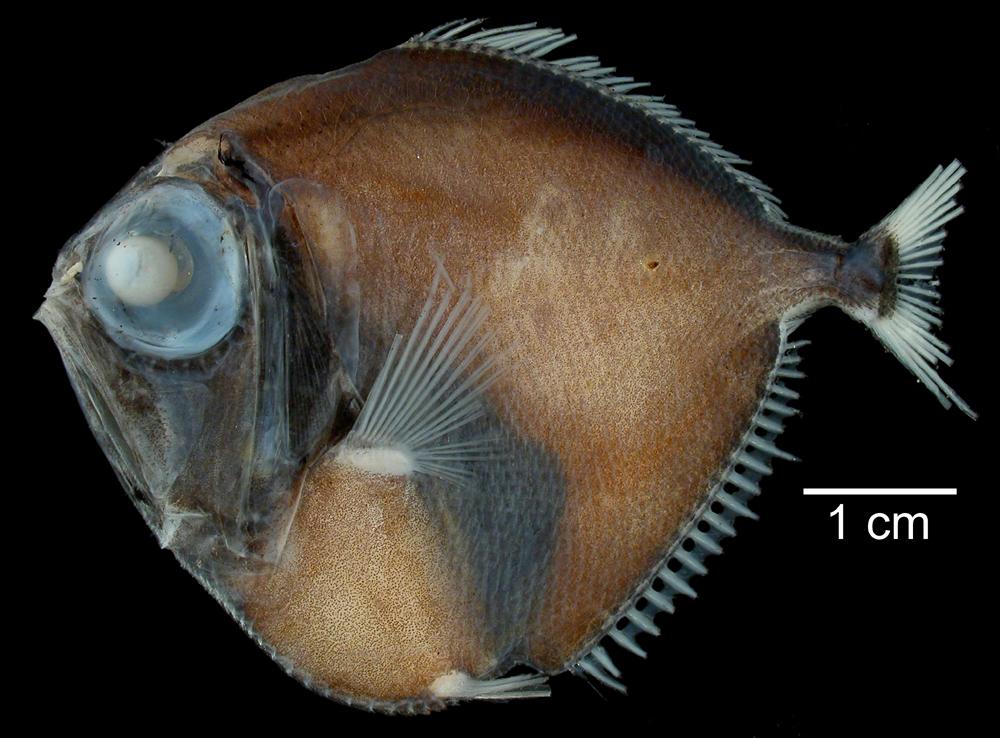 Image of Discfish