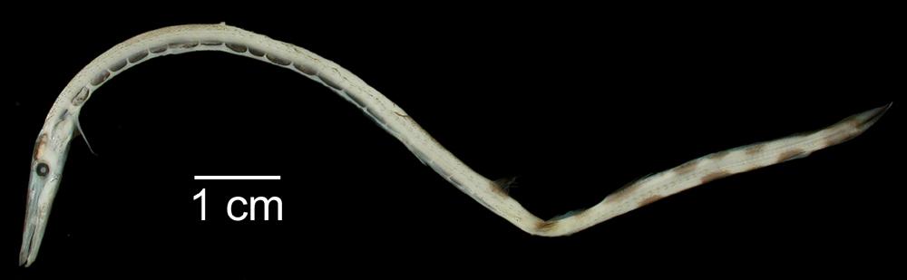 Image of <i>Stemonosudis intermedia</i> (Ege 1933)