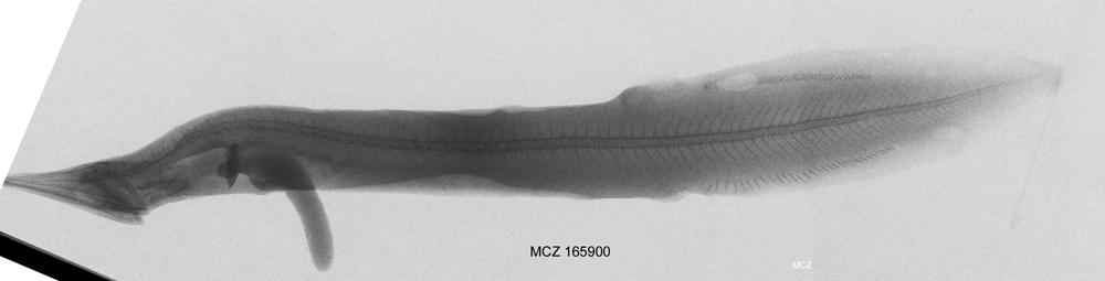 Image of Neocyema
