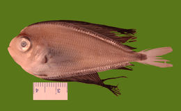 Image of Atlantic fanfish