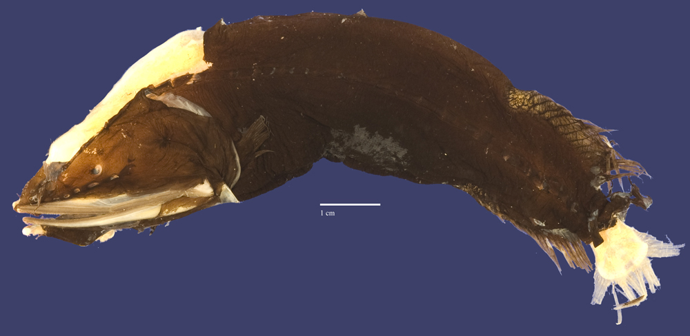 Image of <i>Cetomimus craneae</i> Harry 1952