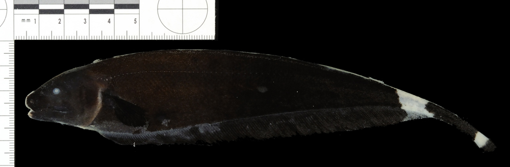Image of Black ghost knifefish