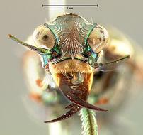 Image of Salt Creek tiger beetle