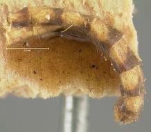 Image of <i>Ditomyia euzona</i> Loew 1870