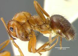 Image of <i>Formica perpilosa</i> Wheeler 1913