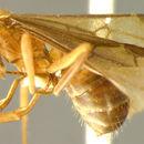 Image of <i>Formica scitula</i> Wheeler 1913