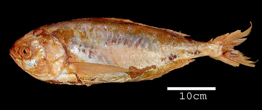Image of <i>Centrolophus peruanus</i> Steindachner 1875
