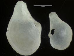 Image of <i>Cuspidaria jeffreysi</i> (Dall 1881)