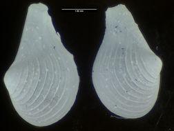 Image of <i>Cuspidaria atlantica</i> Allen & Morgan 1981