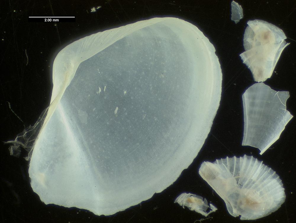 Image of <i>Myonera atlantica</i> Allen & Morgan 1981