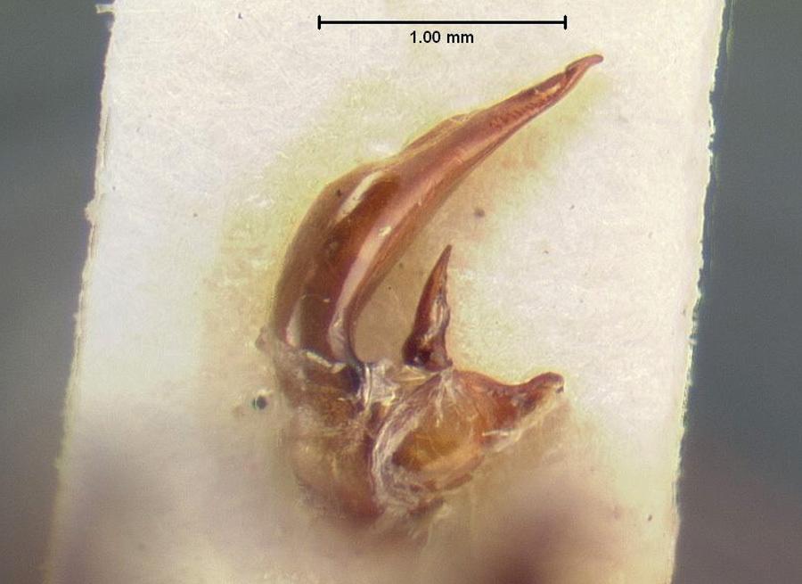 Image of <i><i>Calathus</i></i> (Calathus) <i>distinguendus</i> Chaudoir 1846