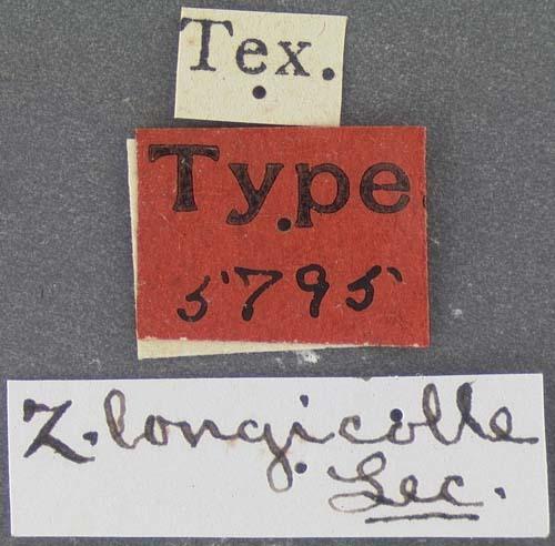 Image of <i>Zuphium longicolle</i> LeConte 1879