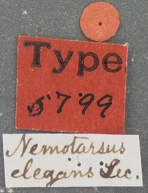 Image of <i>Nemotarsus elegans</i> Le Conte 1853