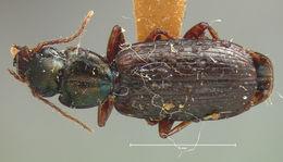 Image of <i><i>Apenes</i></i> (Apenes) <i>angustata</i> Schwarz 1878