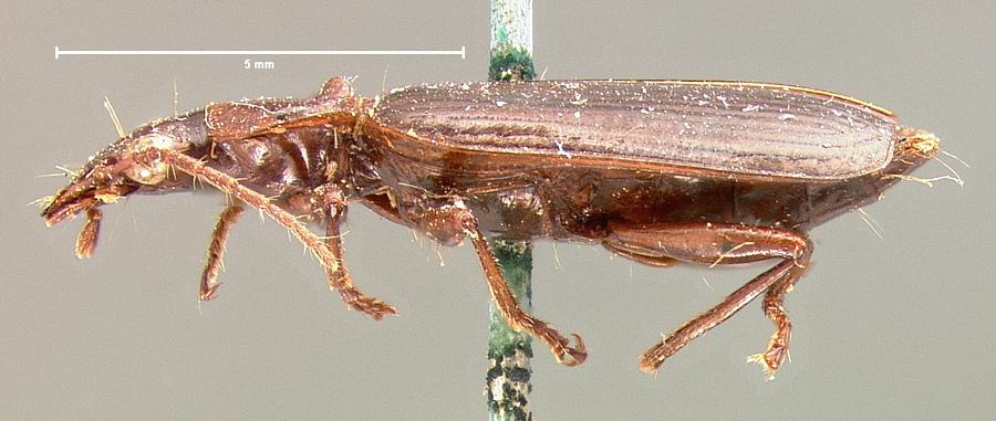 Image of <i>Callida platynoides</i> Horn 1882