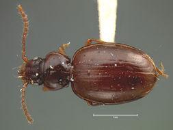 Image of <i><i>Trechus</i></i> (Trechus) <i>hydropicus</i> G. Horn 1883