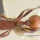 Image of <i>Pogonomyrmex huachucanus</i> Wheeler 1914