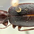 Image of <i>Pinacodera sulcipennis</i> G. Horn 1881