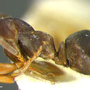 Image of silky ant