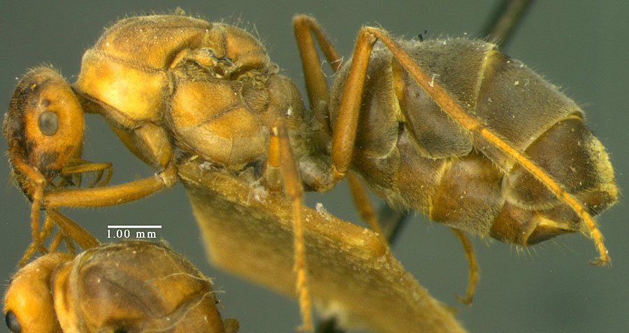 Image of <i>Myrmecocystus mendax</i> Wheeler 1908