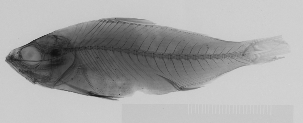 Image of Arripis