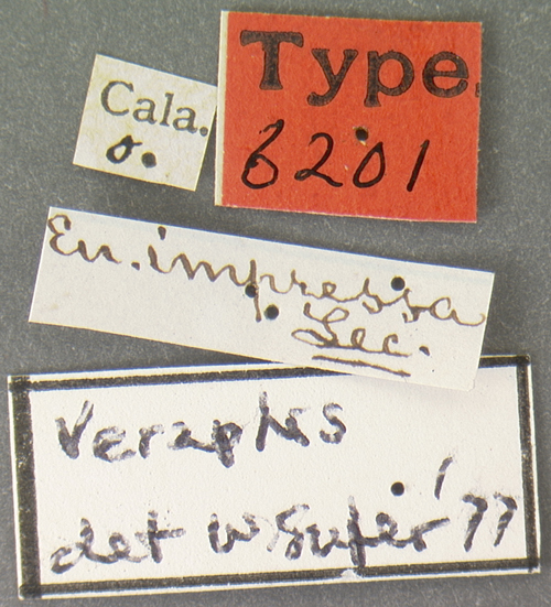 Image of <i>Eutheia impressa</i> LeConte 1879