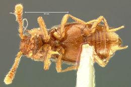Image of <i>Eutheia longula</i> LeConte 1879