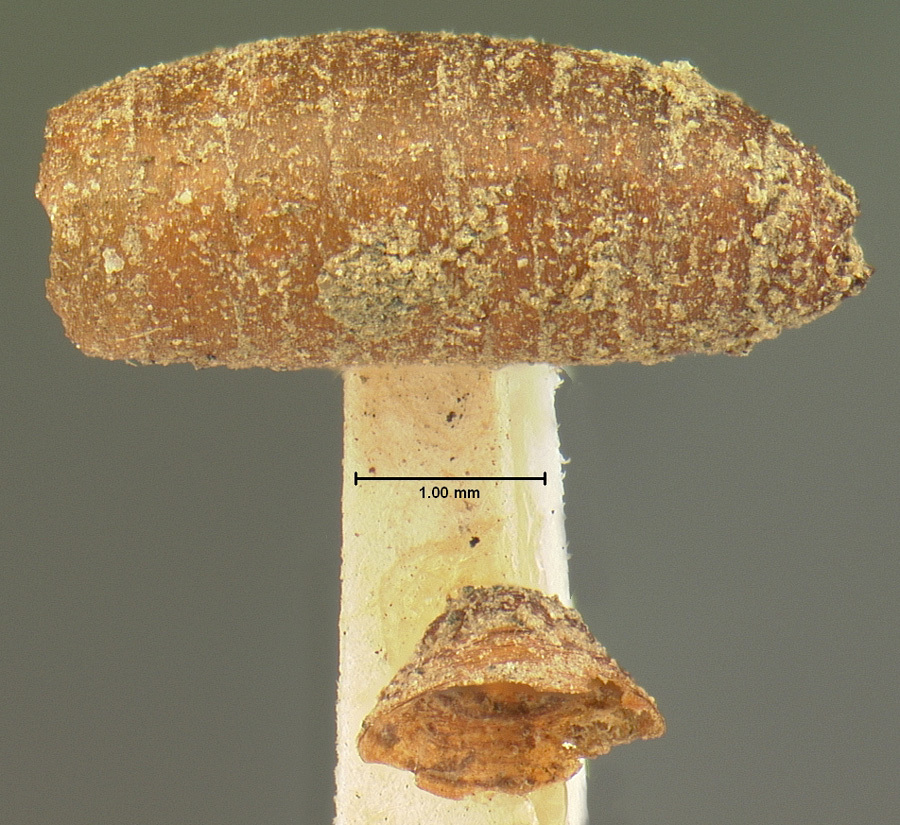 Image of <i>Aleochara anthomyiae</i> Sprague