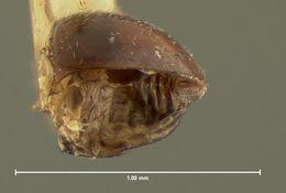 Image of <i>Clambus seminulum</i> Horn 1880