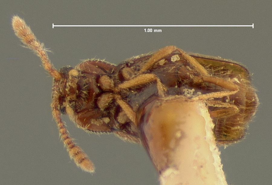Image of <i>Eutheia colon</i> Horn 1868