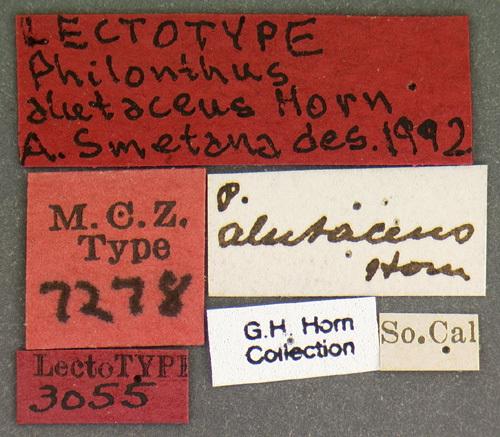 Image of <i>Philonthus alutaceus</i> Horn 1884