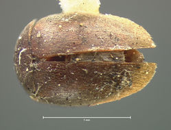 Image of <i>Calyptomerus oblongulus</i> Mannerheim 1853