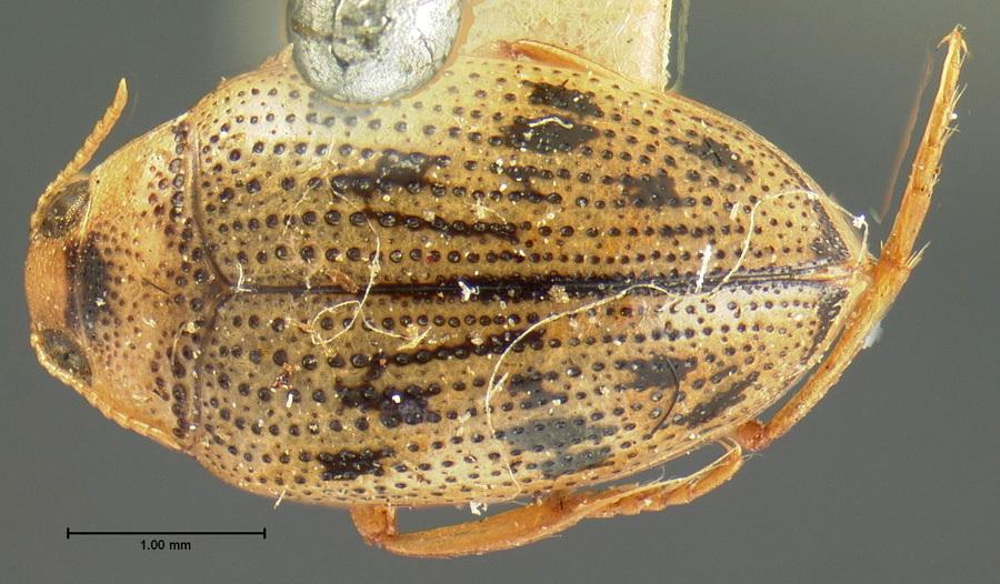Image of <i>Haliplus cribrarius</i> Leconte 1950
