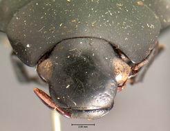 Image of <i>Hydrophilus ovalis</i> Ziegler 1844