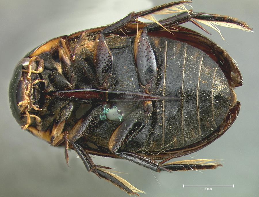 Image of <i>Hydrophilus ellipticus</i> LeConte 1855