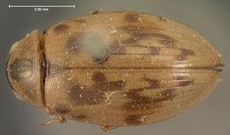 Image of <i>Berosus</i> (<i>Enoplurus</i>) <i>miles</i> Le Conte & J. L. 1855