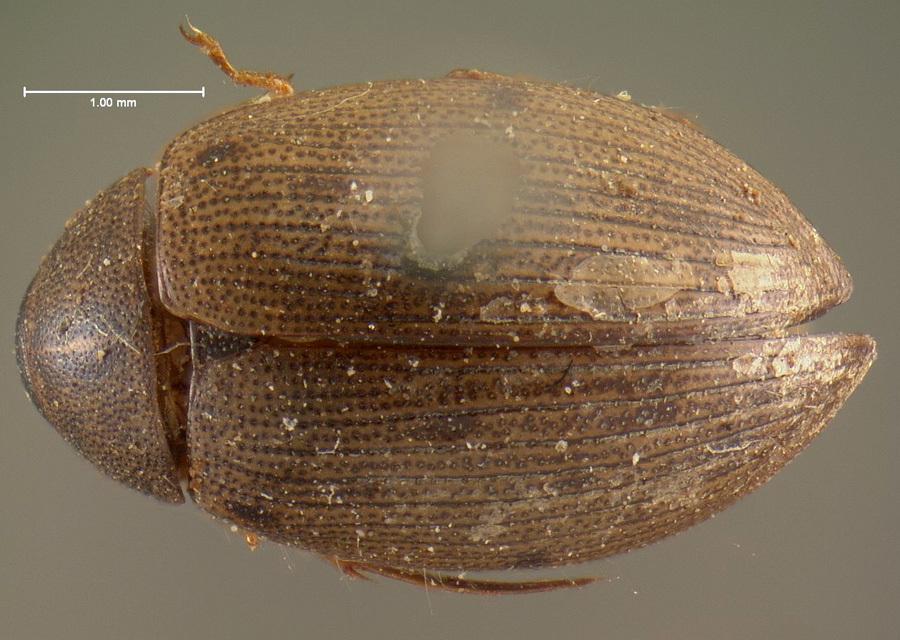 Image of <i><i>Berosus</i></i> (Berosus) <i>ordinatus</i> Le Conte & J. L. 1855