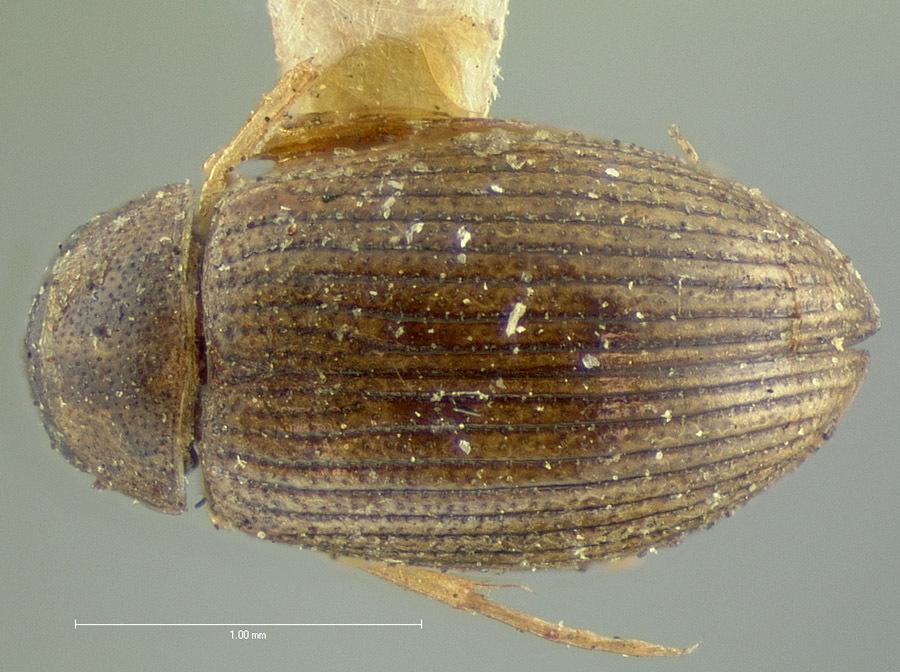 Image of <i>Berosus pallescens</i> LeConte 1855