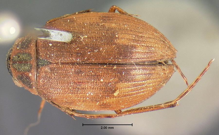 Image of <i>Berosus</i> (<i>Enoplurus</i>) <i>punctatissimus</i> Le Conte & J. L. 1852