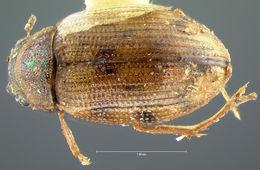 Image of <i>Berosus exilis</i> Say