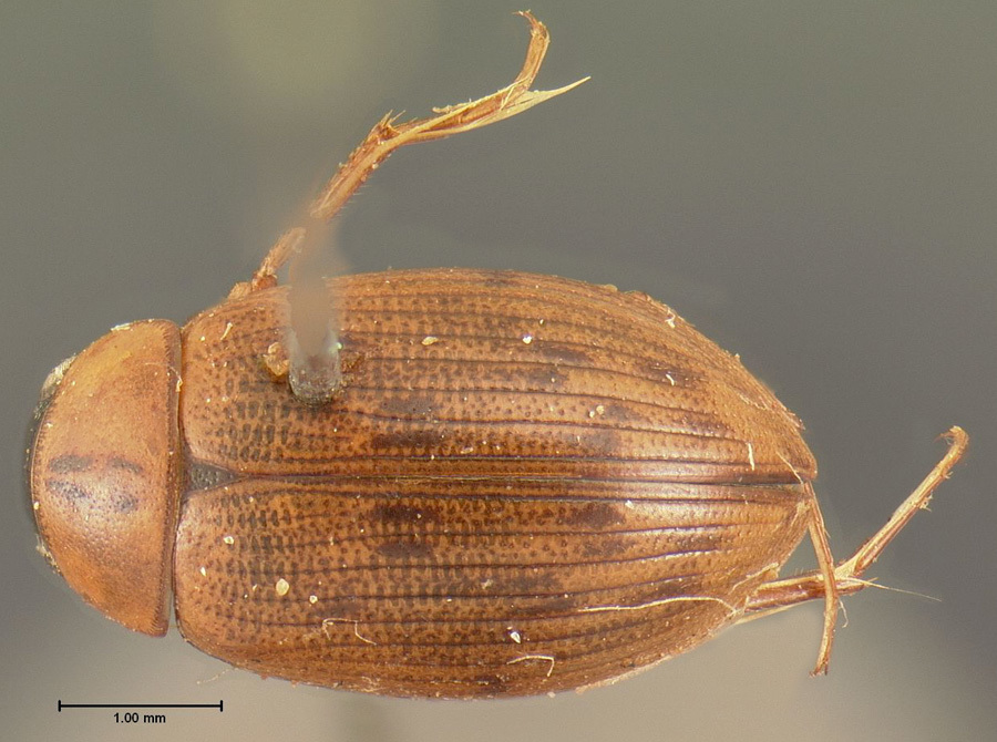 Image of <i><i>Berosus</i></i> (Berosus) <i>punctulatus</i> Boheman 1851