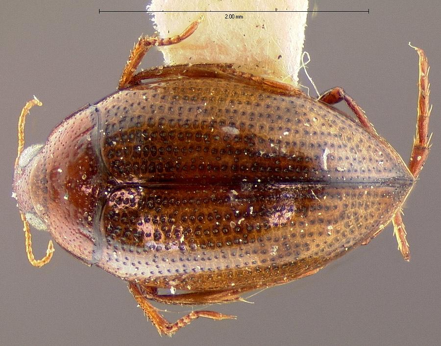 Image of <i>Haliplus longulus</i> Leconte 1950