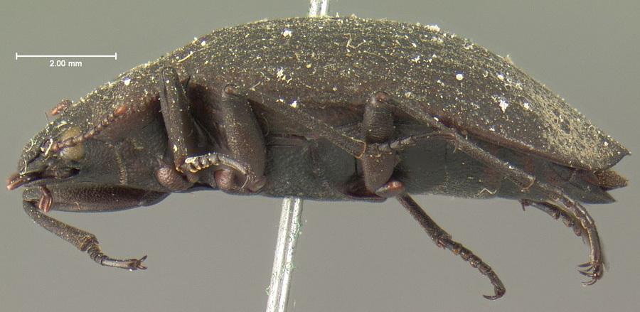 Image of <i>Amphizoa insolens</i> Le Conte 1853
