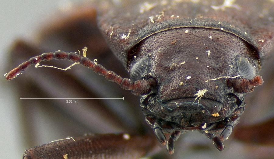 Image of <i>Amphizoa lecontei</i> Matthews 1872