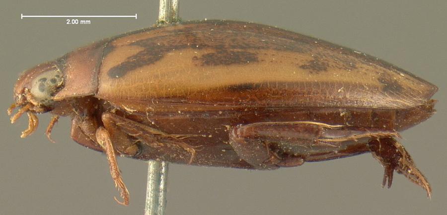 Image of <i>Coptotomus difficilis</i> Le Conte 1852