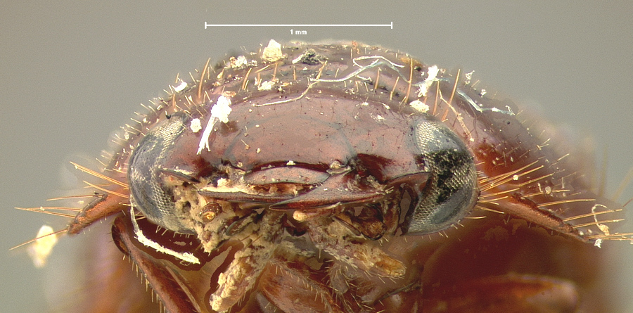 Image of <i>Pseudomorpha augustata</i>