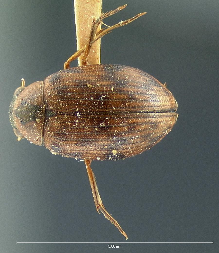 Image of <i><i>Berosus</i></i> (Berosus) <i>rugulosus</i> Horn 1873