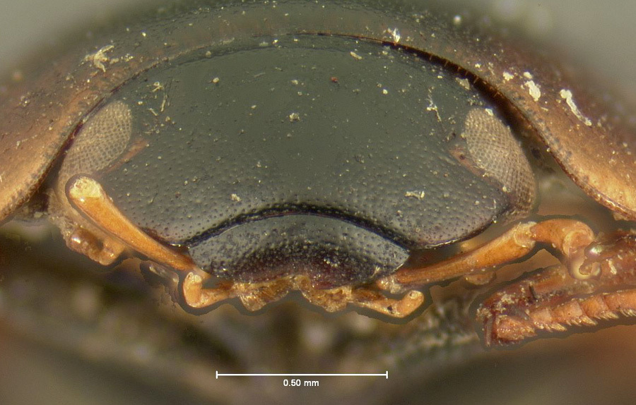 Image of <i>Cymbiodyta morata</i>