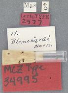 Image of <i>Cymbiodyta blanchardi</i> Horn 1890